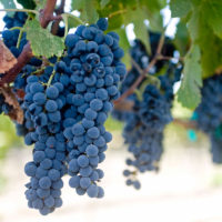 PV-Grapes-crop